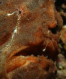 Brown Giant Frogfish, Antennarius Commersonii, Bali, Indonesia