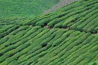 Cameron Highlands (Malaysia): tea plantation