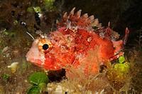 Black Scoprionfish, Scorpaena porcus, Cres Island, Mediterranean Sea, Croatia
