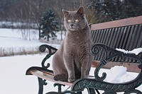 grey domestic cat on bench in snow