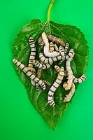 silkworms eating mulberry leaf closeup nature silk worms