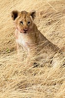 A lion cub sits in the long grass near his pride in the Masai Mara