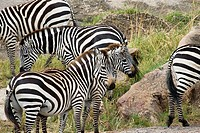 A zebra herd congregates in the Masai Mara in Kenya during the Great Migration