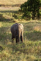 An African elephant calf walks to a watering hole in the Masai Mara