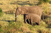 An African elephant &amp; her calf walk to a watering hole in the Masai Mara