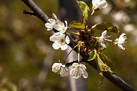 Blossoms on a Sam cherry tree, a sweet cherry. Prunus avium