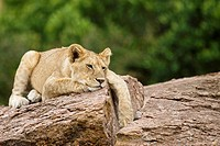 A young lion rests on top of some rocks in the Masai Mara