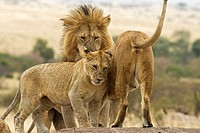 A female & juevenile cub in the pride greet the male lion upon his return