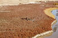 Herd of Wild Camel, Ruoqiang County, Bayingolin Mongol Autonomous Prefecture, Xinjiang Uyghur Autonomous Region, China
