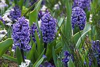 Hyacinthus orientalis Atlantic