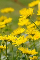 Leopard's Bane (Doronicum sp.), in full flower, UK, April