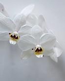 Phalaenopsis phalcorzy Anthura Valencia