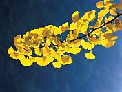 Gingko leaves (thumbnail)