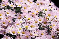 flower, Siberian chrysanthemum