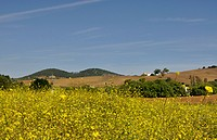 White mustard crop. Andalusia, Spain