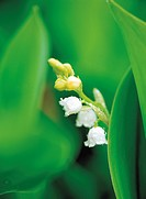 flower, lily of the valley