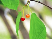 cherries hung on the boughs