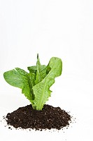 lettuce planting in soil