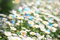 Bubbles floating over daisies