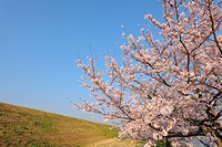 Cherry tree on Arakawa river bank. Toda, Saitama Prefecture, Japan