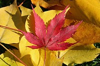 A red Maple or Acer leaf on a background of yellow Maple leaves