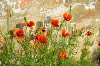Klatschmohn vor Mauer _ corn poppy before the wall 04