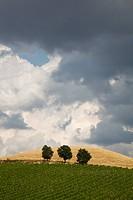 Bäume hinter Weinberg