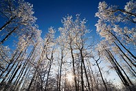 Alberta, Canada, Frost On The Trees In Winter