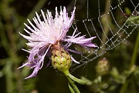 Netz und Kornblume