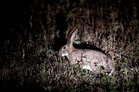 Scrub Hare Lepus Saxatilis  At night  June 2009, winter  Balule Private Nature Reserve, York section  Greater Kruger National Park, Limpopo, South Afr...