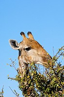 Giraffe, Giraffe camelopardalis, grazing on thornbush vegetation, Madikwe Game Reserve, South Africa