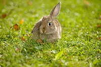 young lop_eard dwarf rabbit on meadow