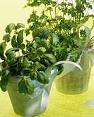 Basil and curled parsley in terracotta pots