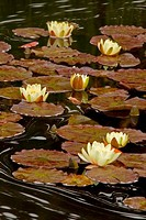 Water lilies in a pond, Oregon Garden, Silverton, Oregon, USA