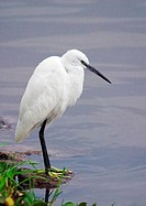 Little egret Egretta garzetta at the lakeside, Lake Naivasha, Great Rift Valley, Kenya