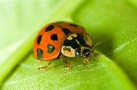 Close up of the Harlequin ladybird Harmonia axyridis in a garden in the UK