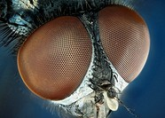 Extreme close up of a house-fly´s eyes