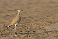 Cream_colored Courser Cursorius cursor, side view