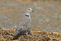 Eurasian Collared Dove Streptopelia decaocto perching on straw