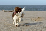 Border Collie playing with a stick on the beach, Sylt, Germany