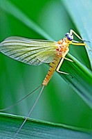 Mayfly clings to marsh grass  Yellow mayfly with grey eyes  Mayflies live one to four years in the river bed or ponds and emerge to mate and die short...