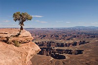 Grand View Point Overlook with Utah Juniper tree Juniperus osteosperma in foreground, Canyonlands National Park, Utah, United States of America, North...