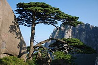 The scenery, huangshan Chinese pine, blue sky, stone