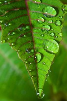 Poinsettia leaf with water droplets