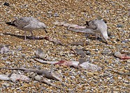 Herring Gull Larus argentatus two immatures, feeding, scavenging on discarded dogfish by_catch on shingle beach, England