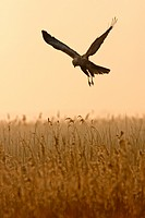 Marsh Harrier Circus aeruginosus adult male, in flight, over reedbed at dawn, Minsmere RSPB Reserve, Suffolk, England, february