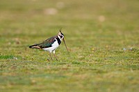 Northern Lapwing Vanellus vanellus adult female, winter plumage, feeding, pulling up earthworm from meadow, Suffolk, England, september