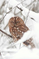 Tawny Owl Strix aluco adult, roosting on snow covered branches in woodland, Deeside, Cairngorms N P , Highlands, Scotland, january