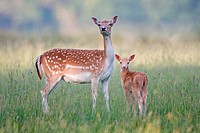 Fallow Deer Dama dama doe with two_week old fawn, standing in grass, Suffolk, England, june