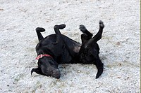 Domestic Dog, Black Labrador Retriever, adult, rolling on back in snow, England, winter